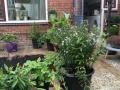 Prunuslaan aanplanting1